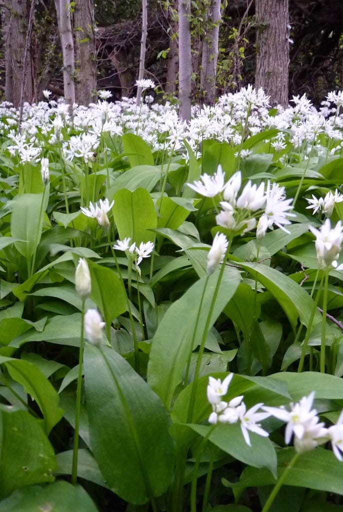 Wild Garlic (Ramps) in the Forest.